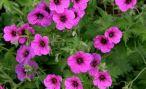 Герань садовая: описание и выращивание цветов