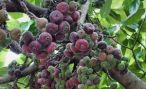 Инжир: как выглядит и как ухаживать за растением