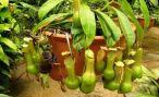 Непентес: описание и уход при выращивании
