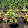 Выращивание томатов в открытом грунте: правильная технология
