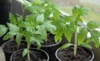 Правила выращивания рассады помидоров: посадка и уход