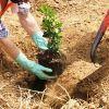 Правильная посадка саженцев плодовых деревьев