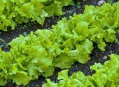 Листовой салат: лучшие сорта и советы по выращиванию