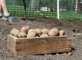 Выращивания картофеля разными методами: секреты и правила