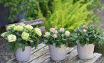 Как успешно  вырастить садовую розу