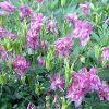 Цветы многолетние аквилегия: особенности, виды и сорта