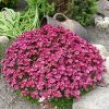 Камнеломка: характеристика, условия выращивания в саду