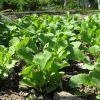 Выращивание редиса из семян в открытом грунте