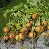 Выращивание репы из семян в открытом грунте