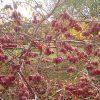 Садовая актинидия: посадка и уход (с фото и видео)