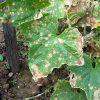 Борьба с болезнью растений бактериоз