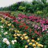 Методы размножения роз: черенкование и прививка