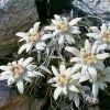 Эдельвейс: виды цветка и его выращивание