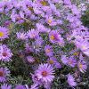 Многолетние цветы астры и их виды