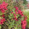 Хризантема садовая многолетняя: сорта, посадка и уход