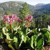 Растение бадан: описание, посадка и уход