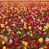 Классификация тюльпанов: классы, виды и лучшие сорта