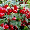 Войлочная вишня: описание, выращивание и рецепты