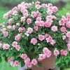 Домашний цветок бальзамин или Ванька мокрый