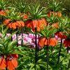 Цветок рябчик: описание, посадка и уход