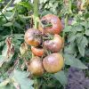 Болезни и вредители томатов: описание и защитные меры