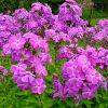Флоксы многолетние: виды и сорта, выращивание и размножение
