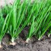 Лук репчатый: правила выращивания и лучшие сорта
