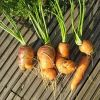Болезни и вредители моркови: описание и лечение