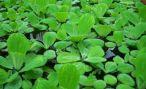 Плавающие растения для аквариума