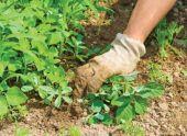 Особенности сорняков и их вред