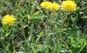 Осот полевой: описание и меры борьбы