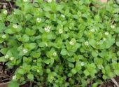 Мокрица: злостный сорняк с полезными свойствами