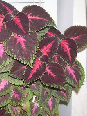 437Цветы домашние зеленые листья как называется