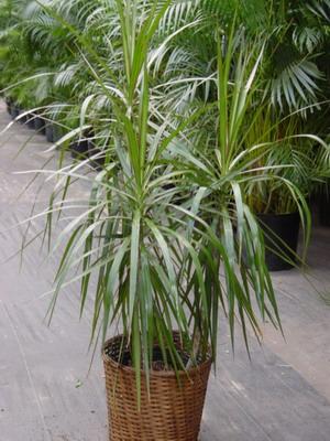 Растение на длинных стеблях с тонкими листьями
