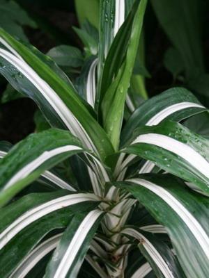 Драцена правильный грунт для выращивания и размножение
