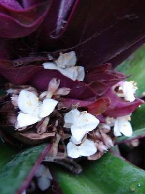 Растение традесканция: фото сортов и видов, уход в ...