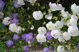 невеста комнатное растение фото