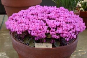 Фото цветка цикламен уход 55