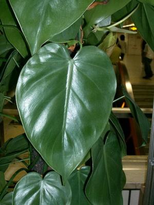 Комнатный цветок филодендрон