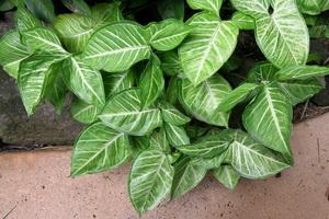 Комнатное растение сингониум- фото, описание цветка, уход в домашних условиях