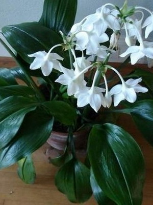 Эухарис цветок комнатный