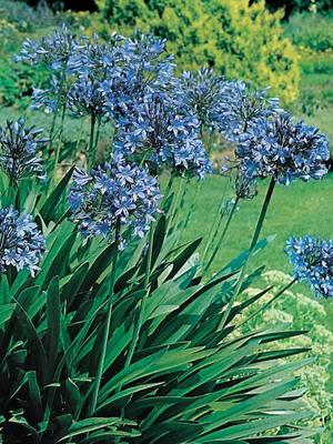 бордюрная трава фото с названиями