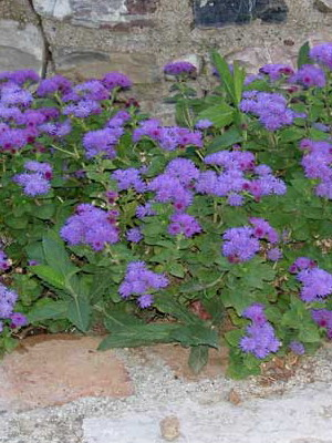 Сиреневые цветы для клумбы названия и 74
