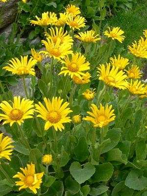 Многолетние желтые высокие цветы