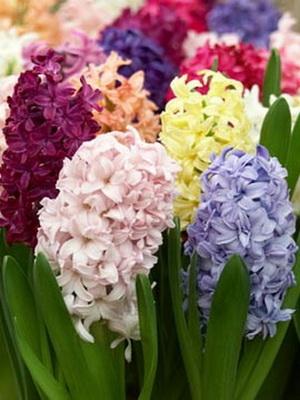 цветок как луковица название