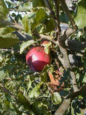 Болезни плодовых деревьев и растений