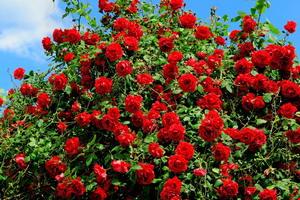 кустовые розы фото с названиями