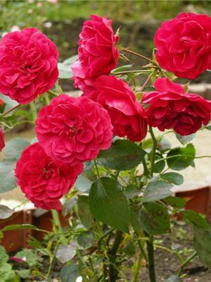 Виды садовых роз фото и названия