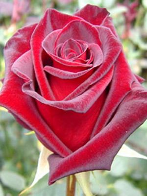 Фото и название роз