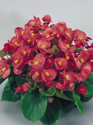 Комнатный цветок бегония: уход в домашних условиях с фото 80